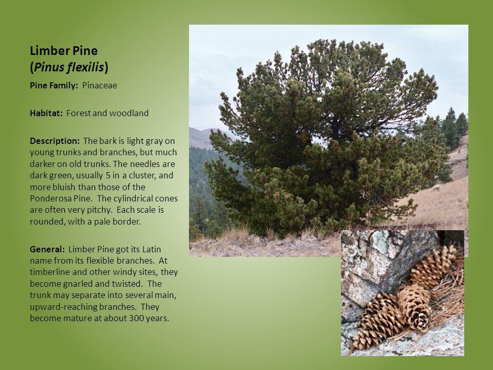 Limber Pine (Pinus flexilis)
