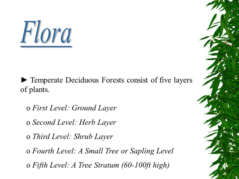 Flora ► Temperate Deciduous Forests consist of five layers of plants.