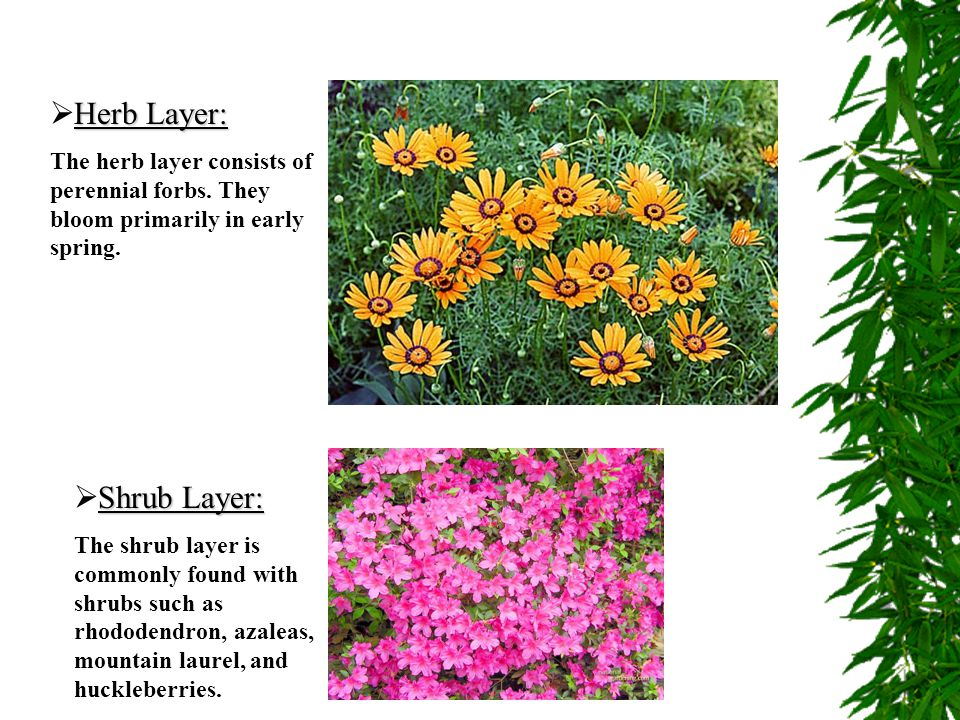 Herb Layer: Shrub Layer: