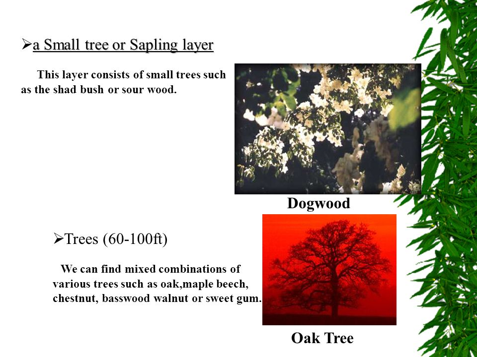 a Small tree or Sapling layer