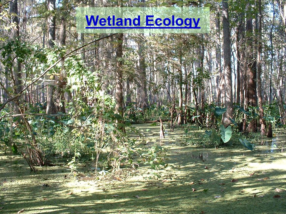 wetland ecology Wetlands, which are fluctuating ecosystems inherently difficult to categorize, are often found at the intersection of terrestrial habitat and aquatic habitat and usually include elements of both systems.