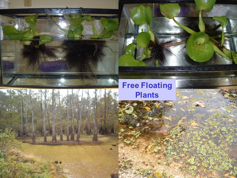 Free Floating Plants