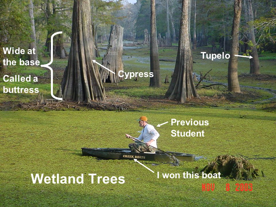 Wetland Trees Wide at the base Tupelo Called a buttress Cypress