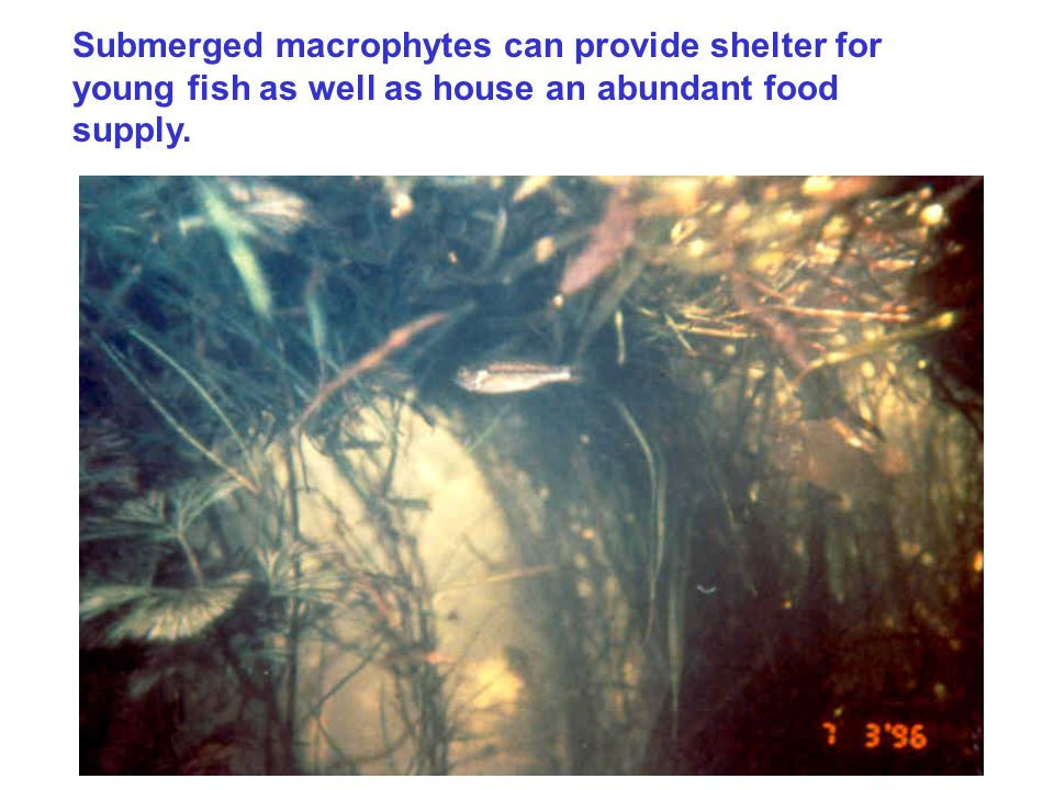 Submerged macrophytes can provide shelter for young fish as well as house an abundant food supply.