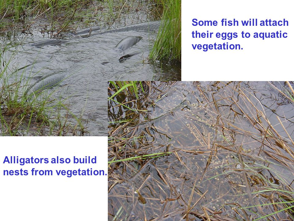 Some fish will attach their eggs to aquatic vegetation.