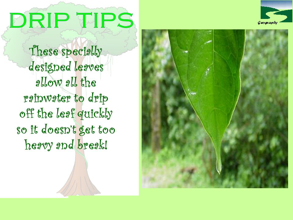 drip tips These specially designed leaves allow all the rainwater to drip off the leaf quickly so it doesn't get too heavy and break!