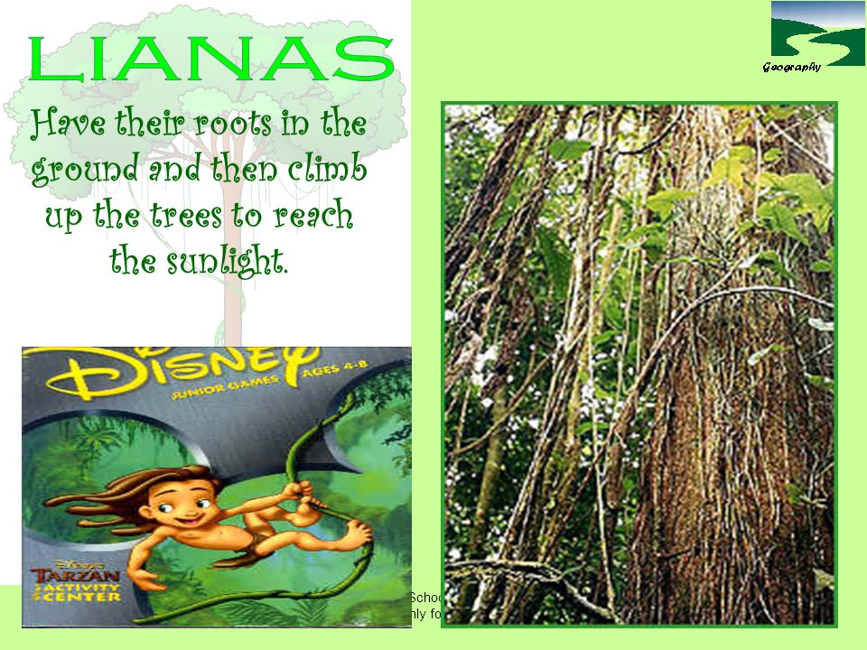 lianas Have their roots in the ground and then climb up the trees to reach the sunlight.