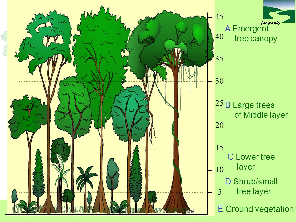 45 A Emergent tree canopy 40 35 30 25 B Large trees of Middle layer 20