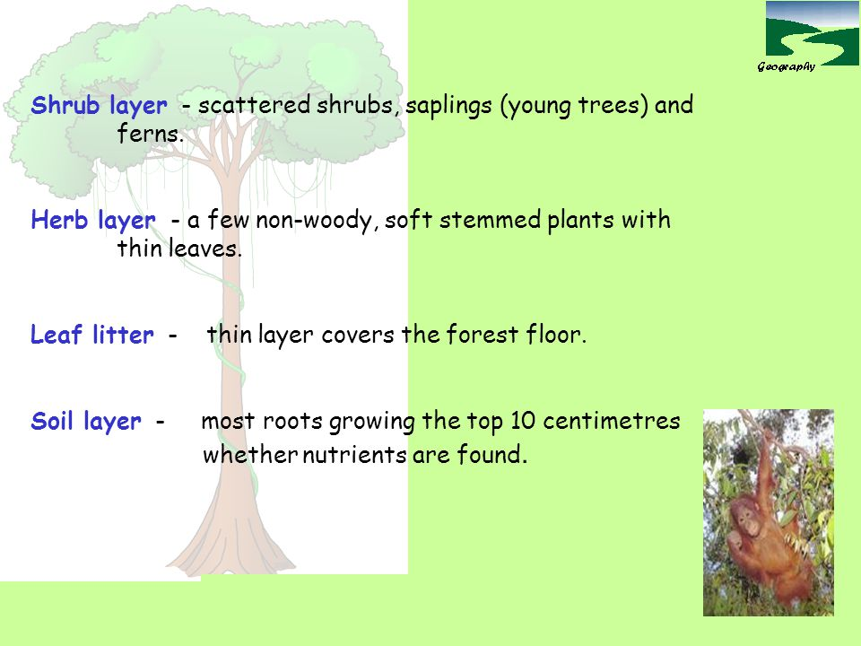 Shrub layer - scattered shrubs, saplings (young trees) and ferns.