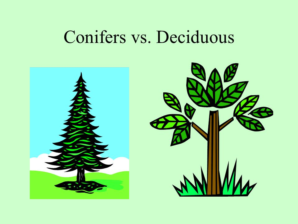 Conifers vs. Deciduous In the simplest sense there are two kinds of trees in the world.