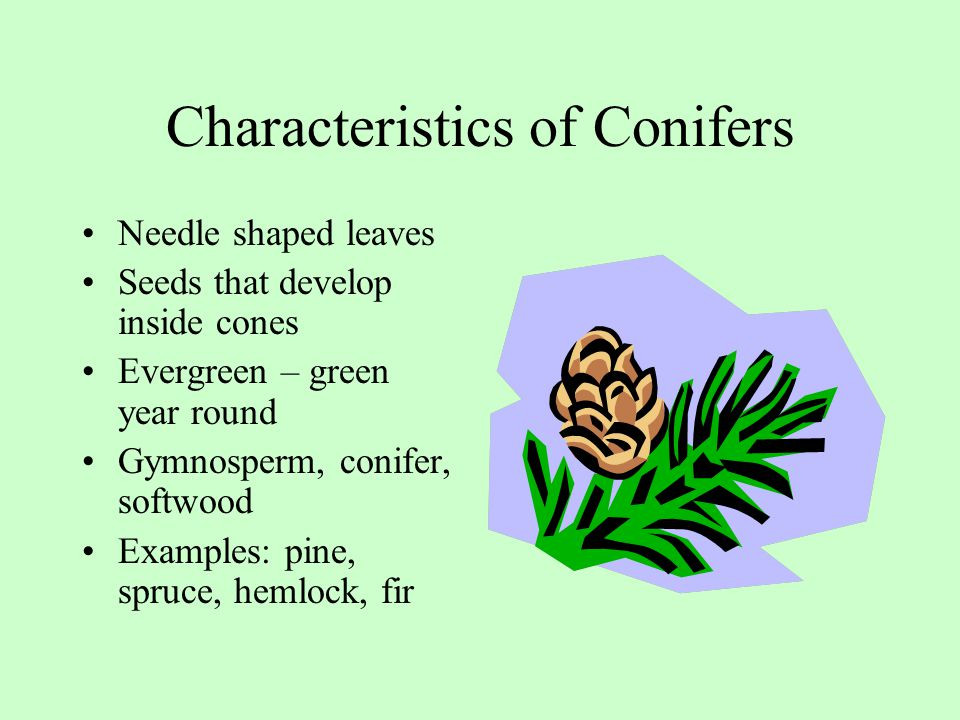 Characteristics of Conifers