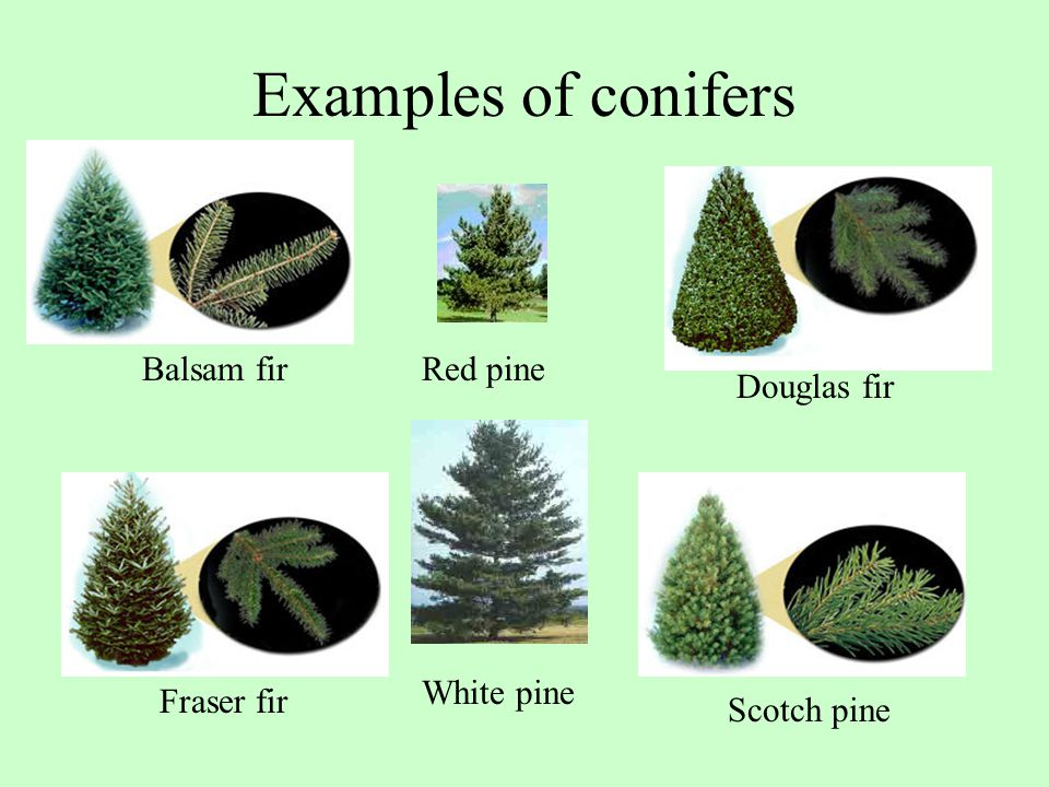 Examples of conifers Balsam fir Red pine Douglas fir White pine