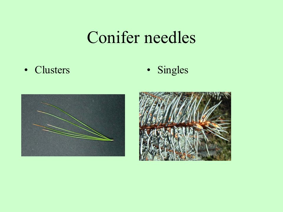 Conifer needles Clusters Singles