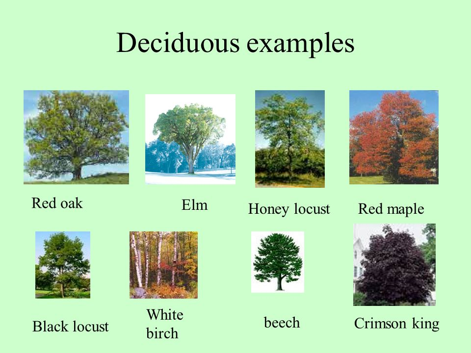 Deciduous examples Red oak Elm Honey locust Red maple White birch