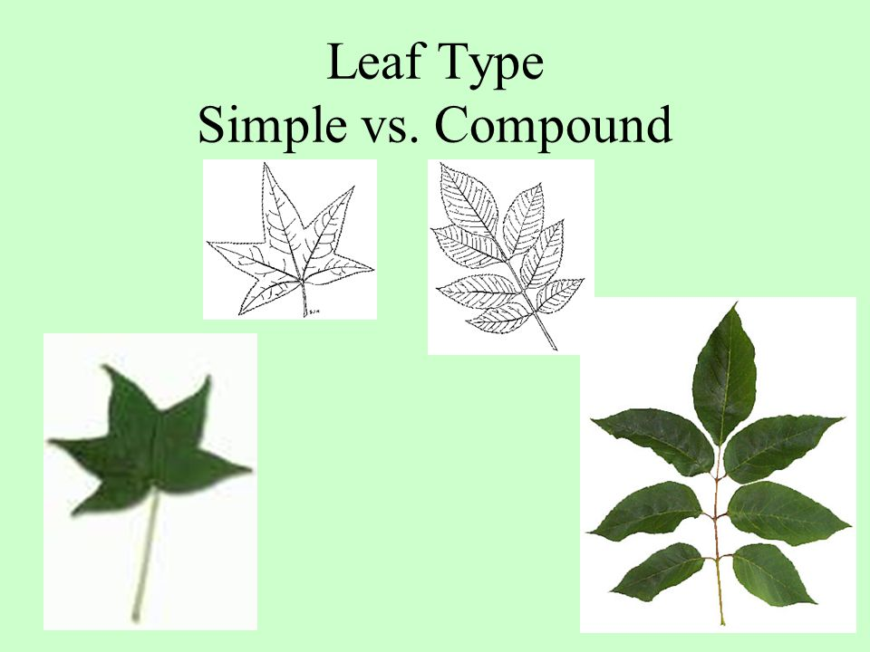 Leaf Type Simple vs. Compound