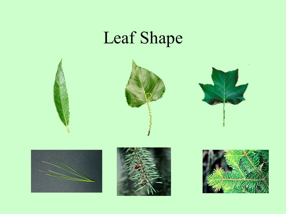 Leaf Shape