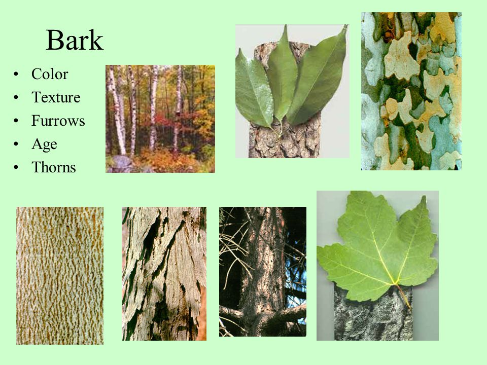 Bark Color Texture Furrows Age Thorns