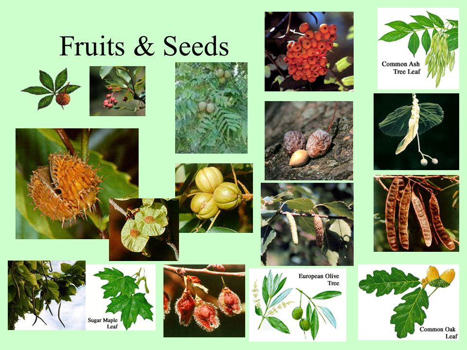 Fruits & Seeds