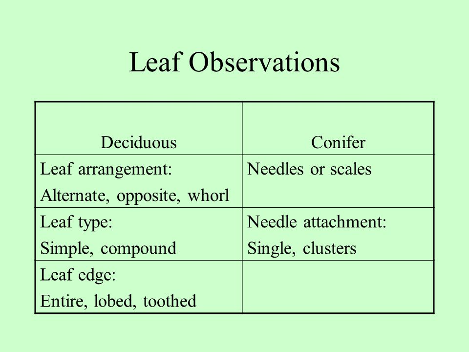 Leaf Observations Deciduous Conifer Leaf arrangement: