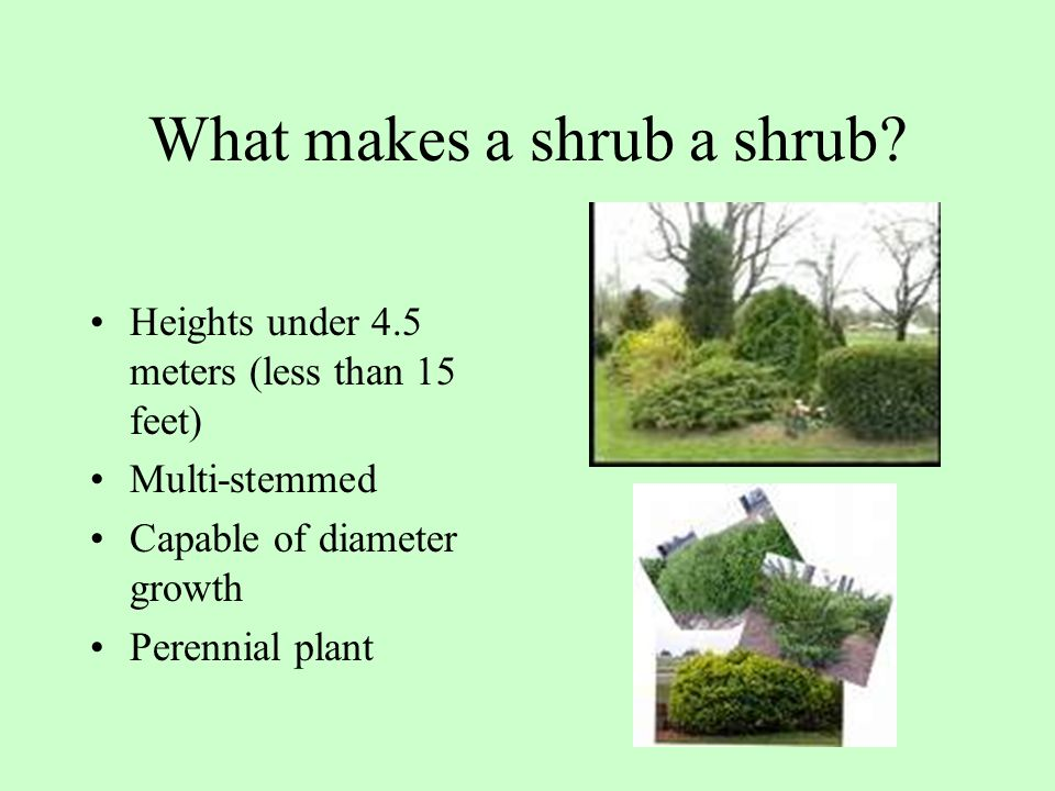 What makes a shrub a shrub