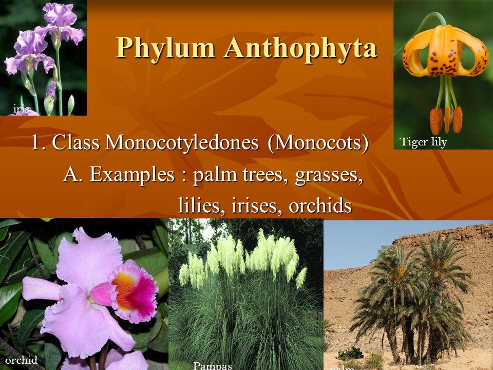 Phylum Anthophyta 1. Class Monocotyledones (Monocots)
