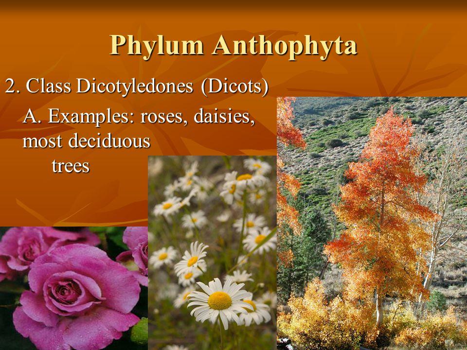Phylum Anthophyta 2. Class Dicotyledones (Dicots)