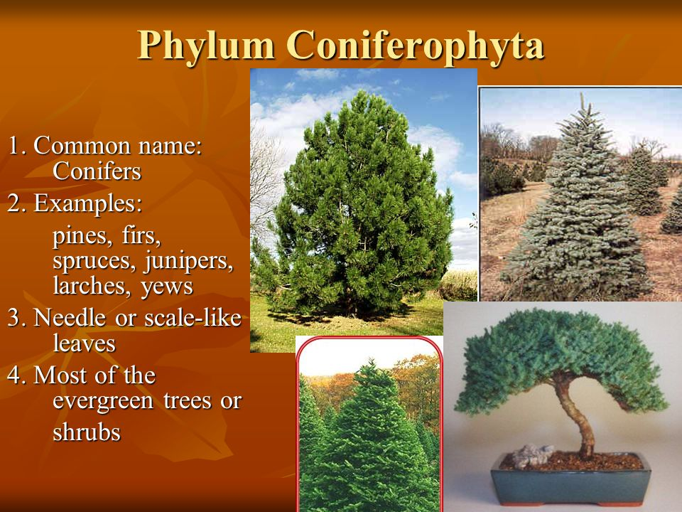 Phylum Coniferophyta 1. Common name: Conifers 2. Examples: