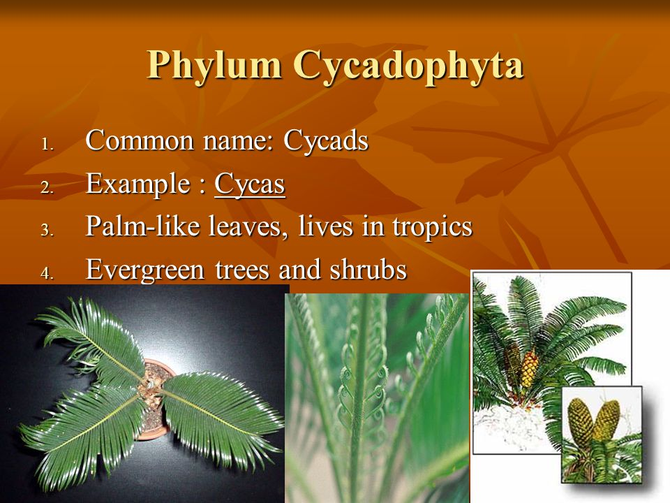 Phylum Cycadophyta Common name: Cycads Example : Cycas