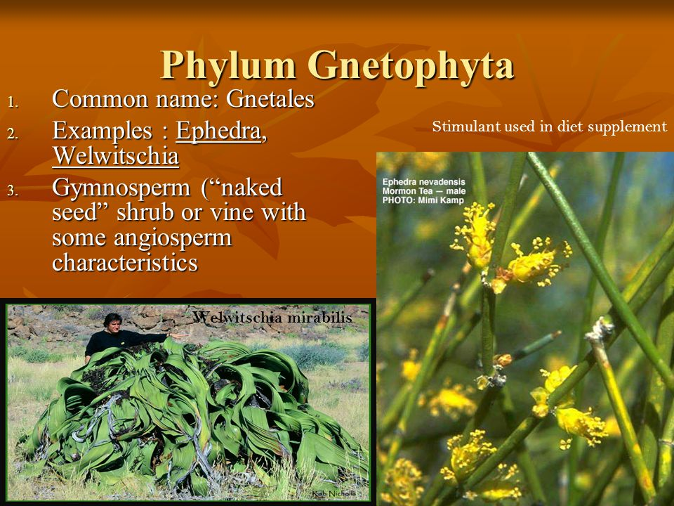 Phylum Gnetophyta Common name: Gnetales