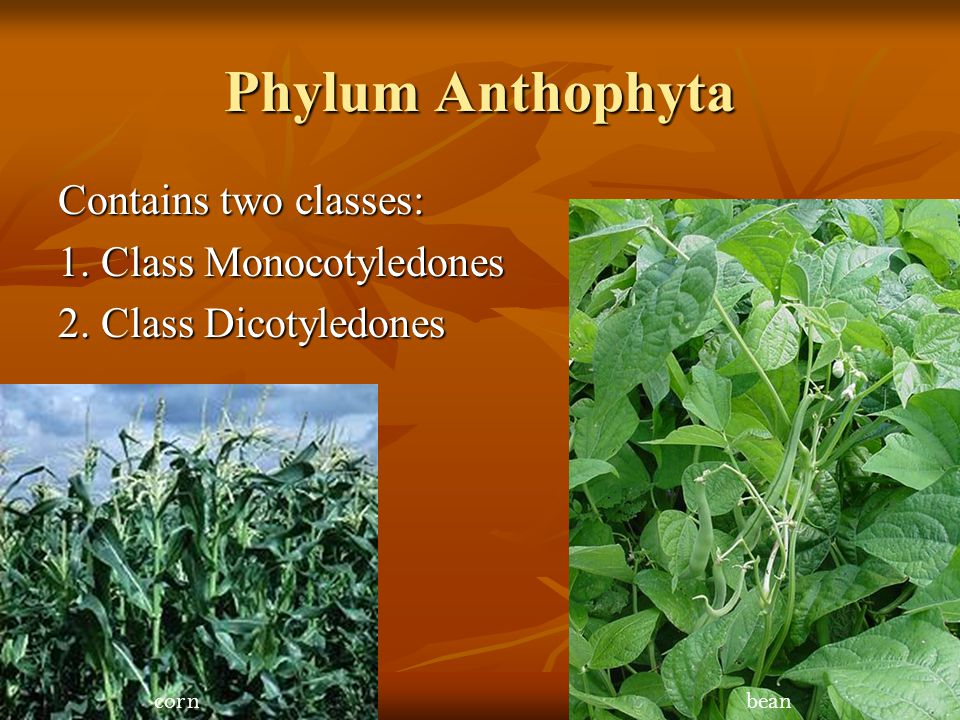 Phylum Anthophyta Contains two classes: 1. Class Monocotyledones
