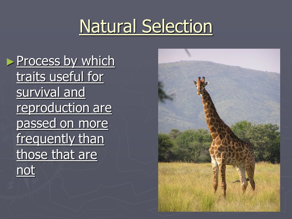 Natural Selection Process by which traits useful for survival and reproduction are passed on more frequently than those that are not.