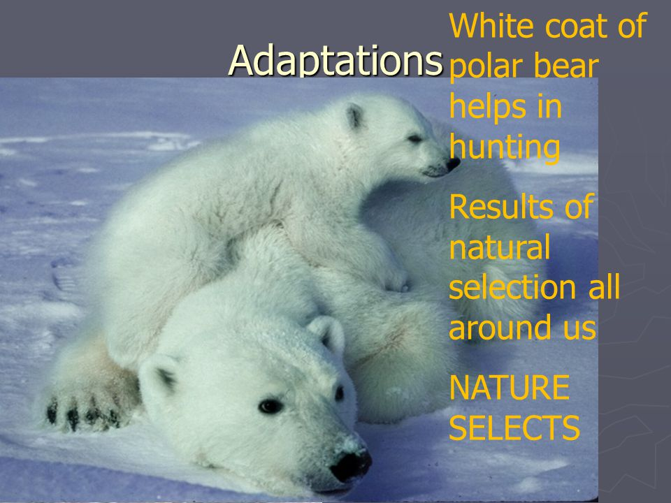 Adaptations White coat of polar bear helps in hunting