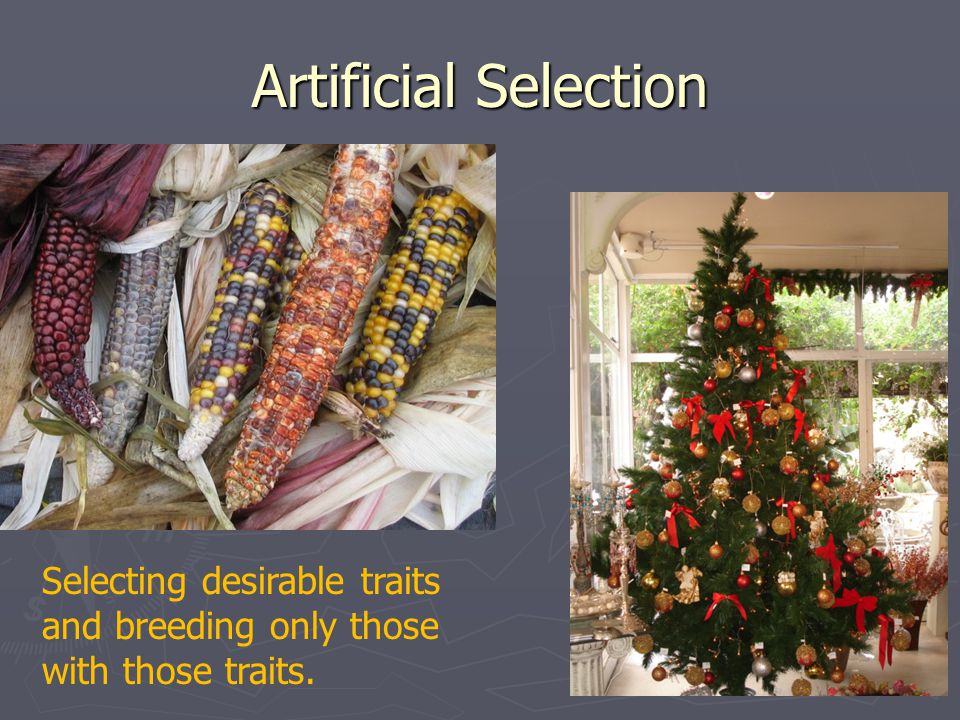 Artificial Selection Selecting desirable traits and breeding only those with those traits.