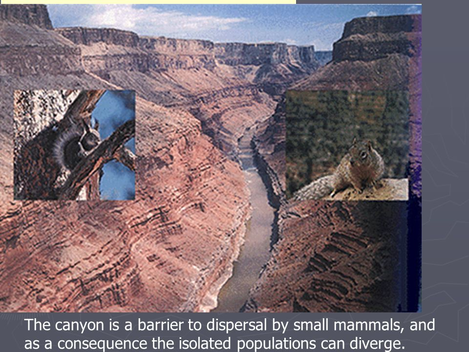 The canyon is a barrier to dispersal by small mammals, and as a consequence the isolated populations can diverge.