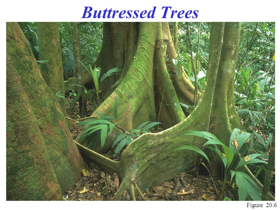 Buttressed Trees Figure 20.6