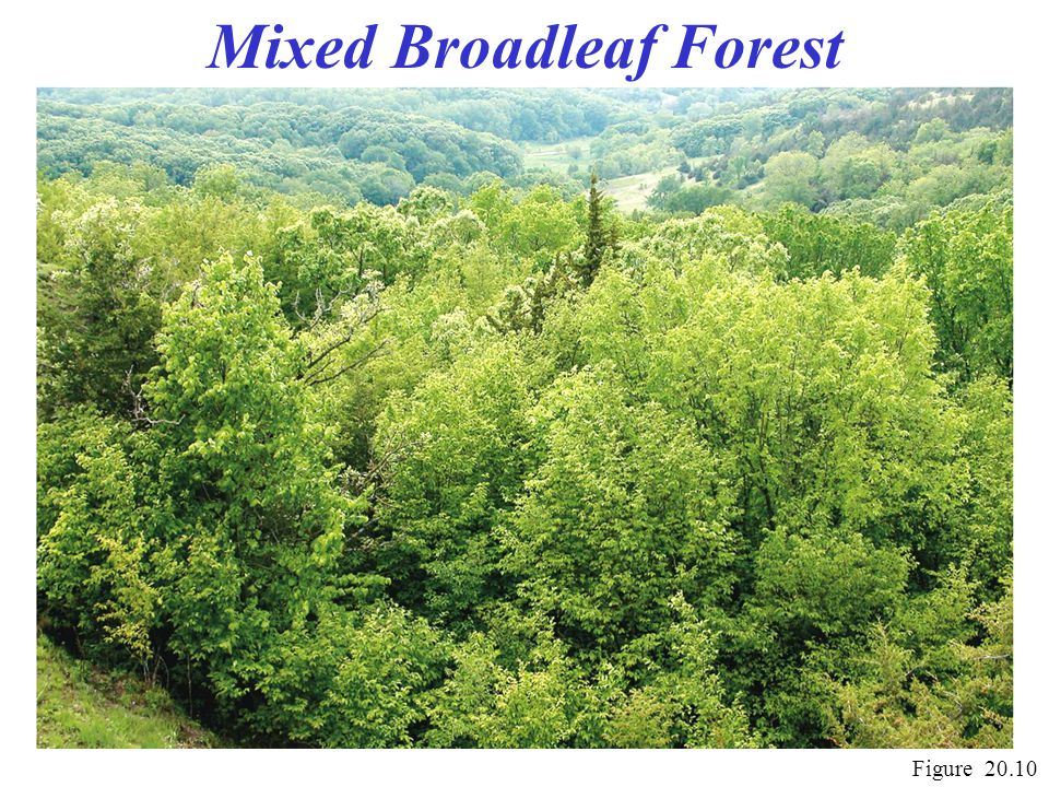 Mixed Broadleaf Forest