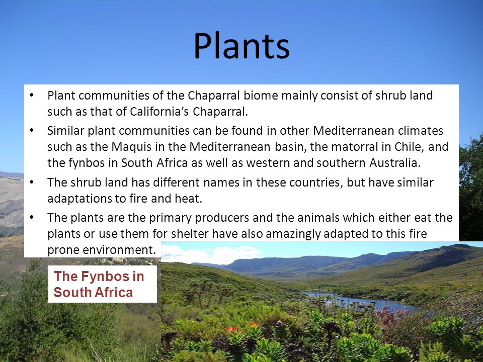 Plants Plant communities of the Chaparral biome mainly consist of shrub land such as that of California's Chaparral.