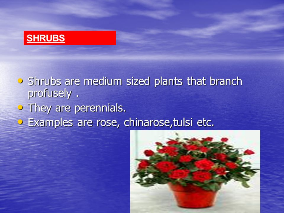 Shrubs are medium sized plants that branch profusely .