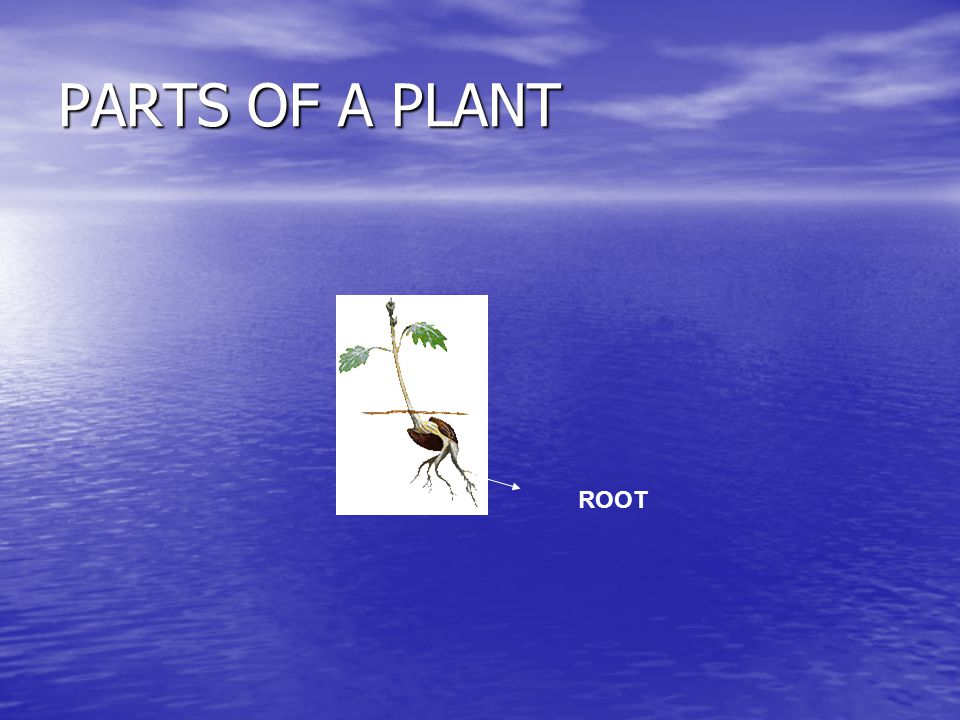 PARTS OF A PLANT ROOT