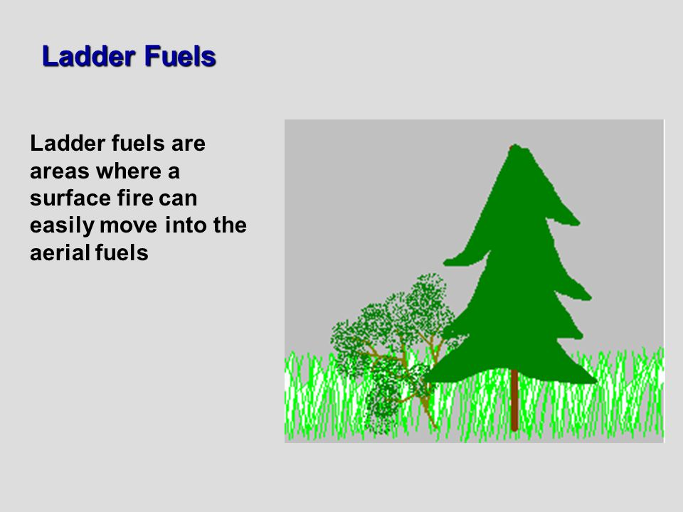 Ladder Fuels Ladder fuels are areas where a surface fire can easily move into the aerial fuels
