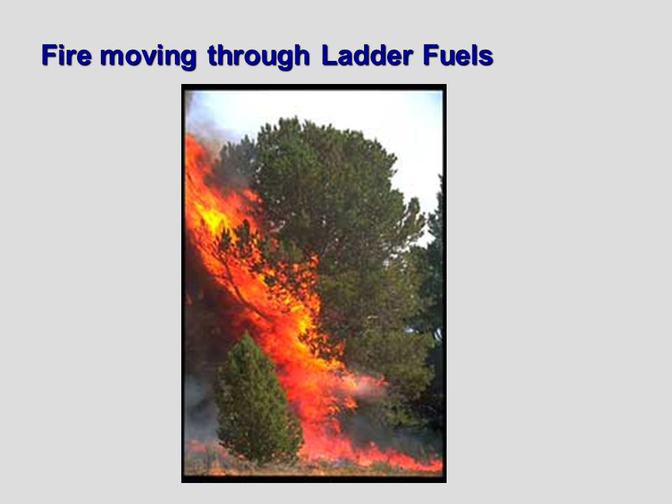 Fire moving through Ladder Fuels