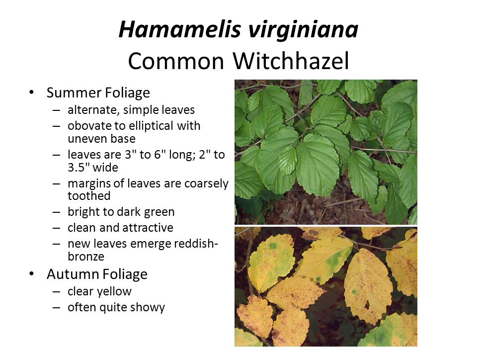 Hamamelis virginiana Common Witchhazel