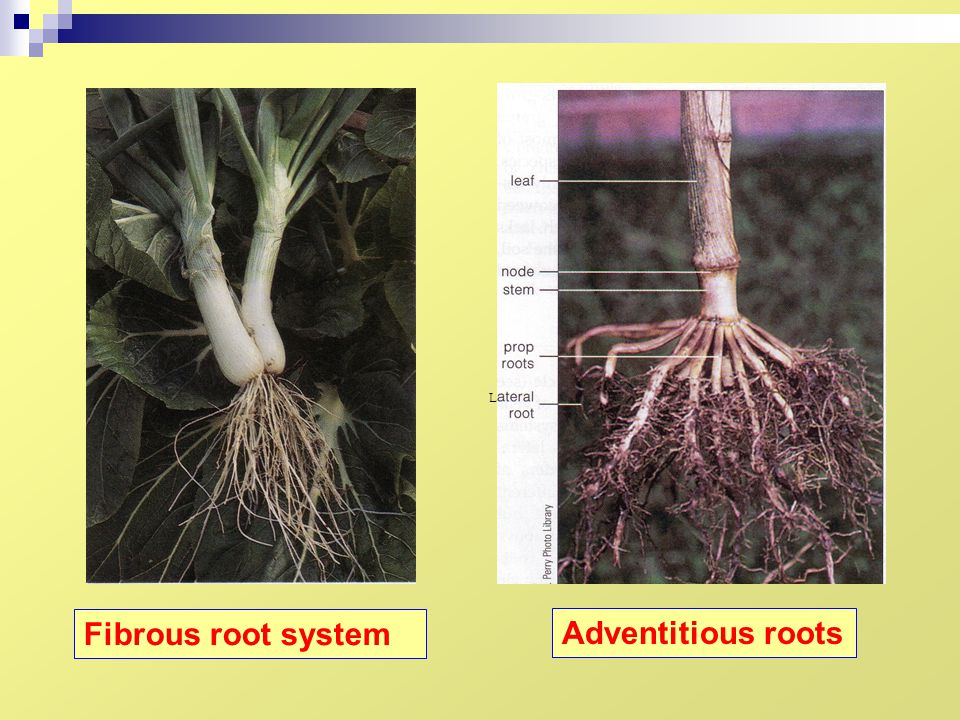 L Fibrous root system Adventitious roots