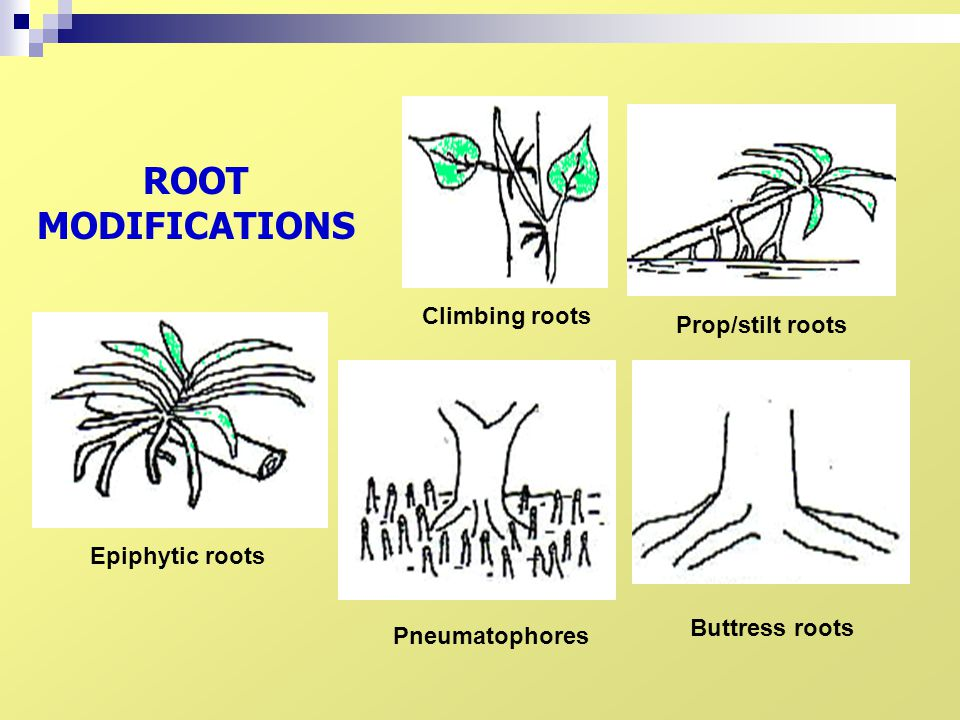 ROOT MODIFICATIONS Climbing roots Prop/stilt roots Epiphytic roots