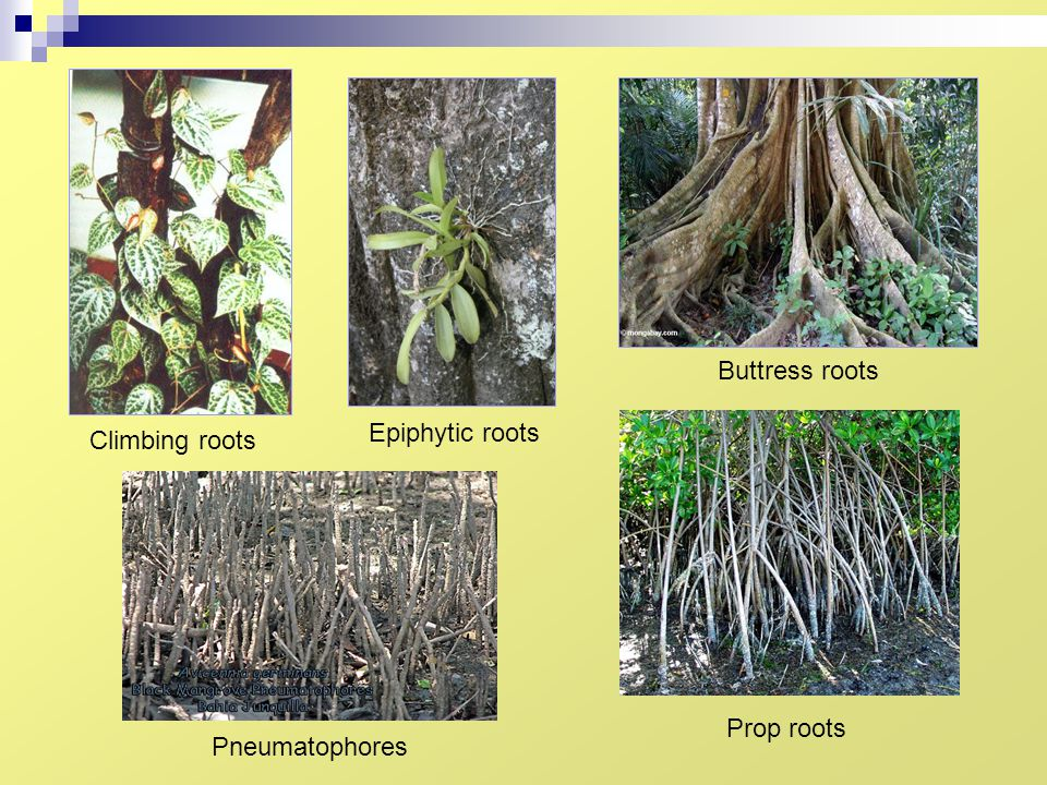Buttress roots Epiphytic roots Climbing roots Prop roots Pneumatophores