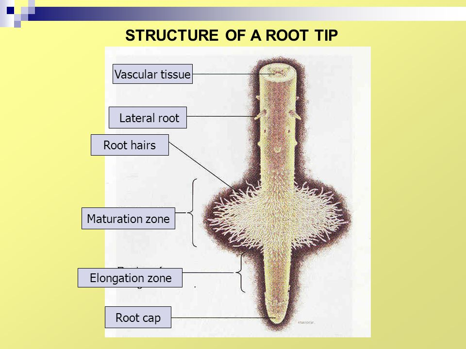 STRUCTURE OF A ROOT TIP Vascular tissue Tisu vaskular Lateral root