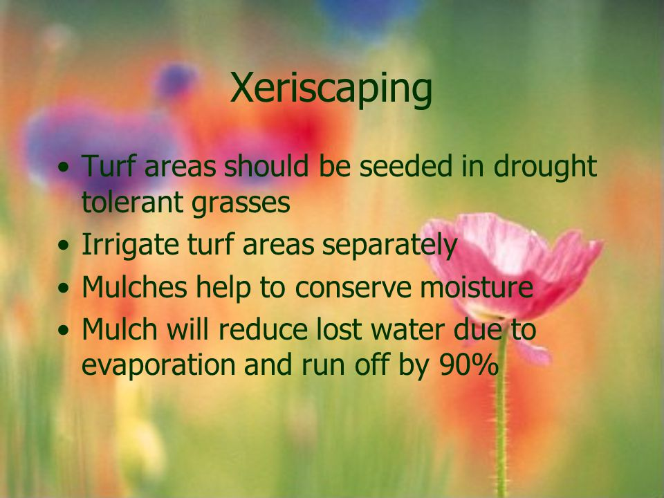 Xeriscaping Turf areas should be seeded in drought tolerant grasses