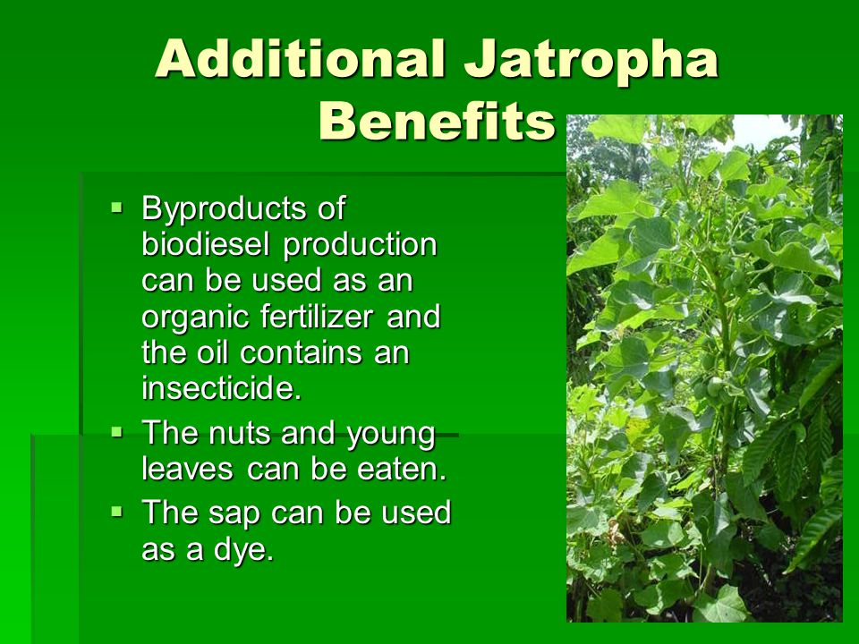 Additional Jatropha Benefits