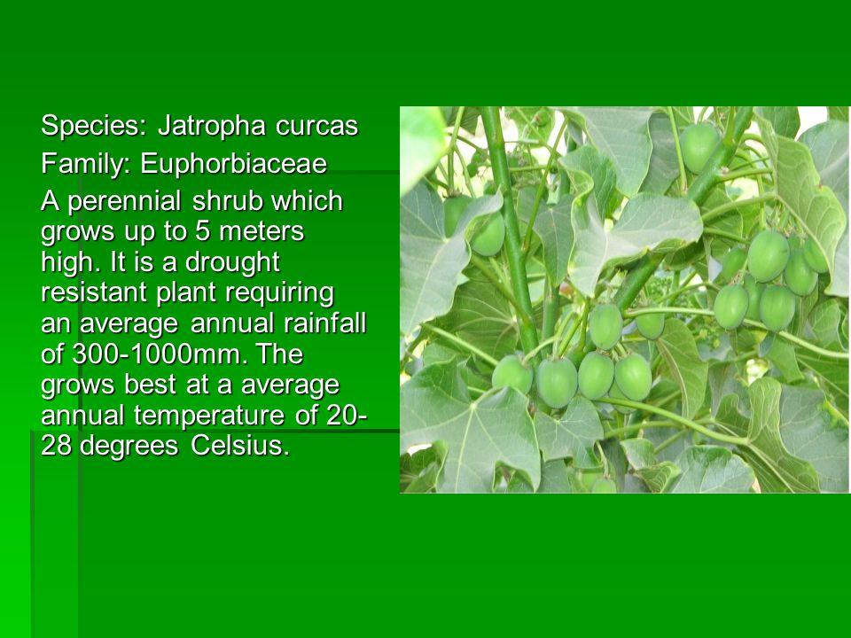 Species: Jatropha curcas