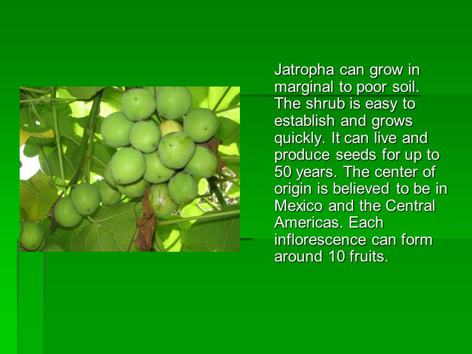 Jatropha can grow in marginal to poor soil